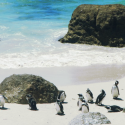 Boulders-Beach-Penguins-South-Africa