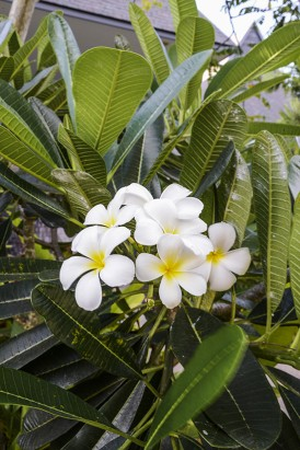 Intercontinental Fiji Frangipani Tree